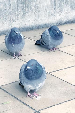 寒そうな鳩