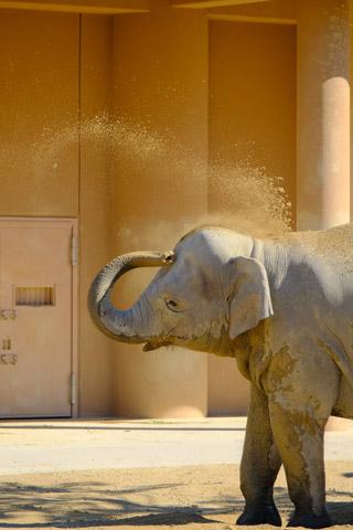 砂浴びするアジアゾウ