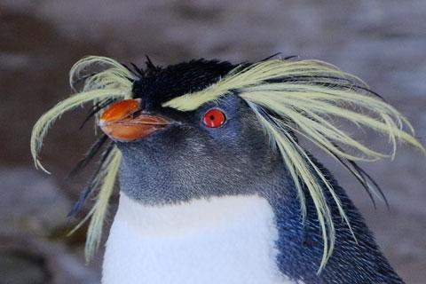 イワトビペンギンアップ