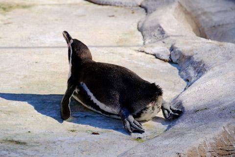 ペンギンの日向ぼっこ
