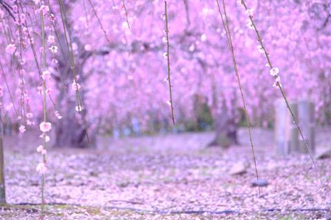 鈴鹿の森庭園・しだれ梅まつり