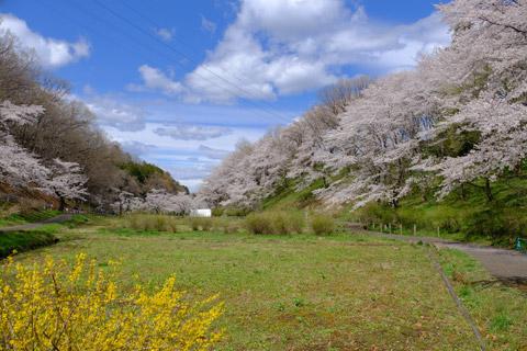 芝桜の丘へと続く桜道