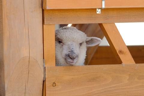 子供の羊?