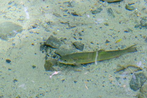 嘉門次小屋の岩魚