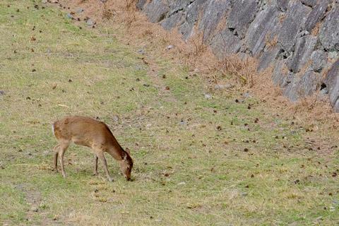 名古屋城のお堀にいる鹿