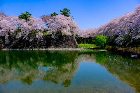 名古屋城のお堀の桜