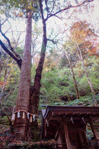 貴船神社奥宮の御神木