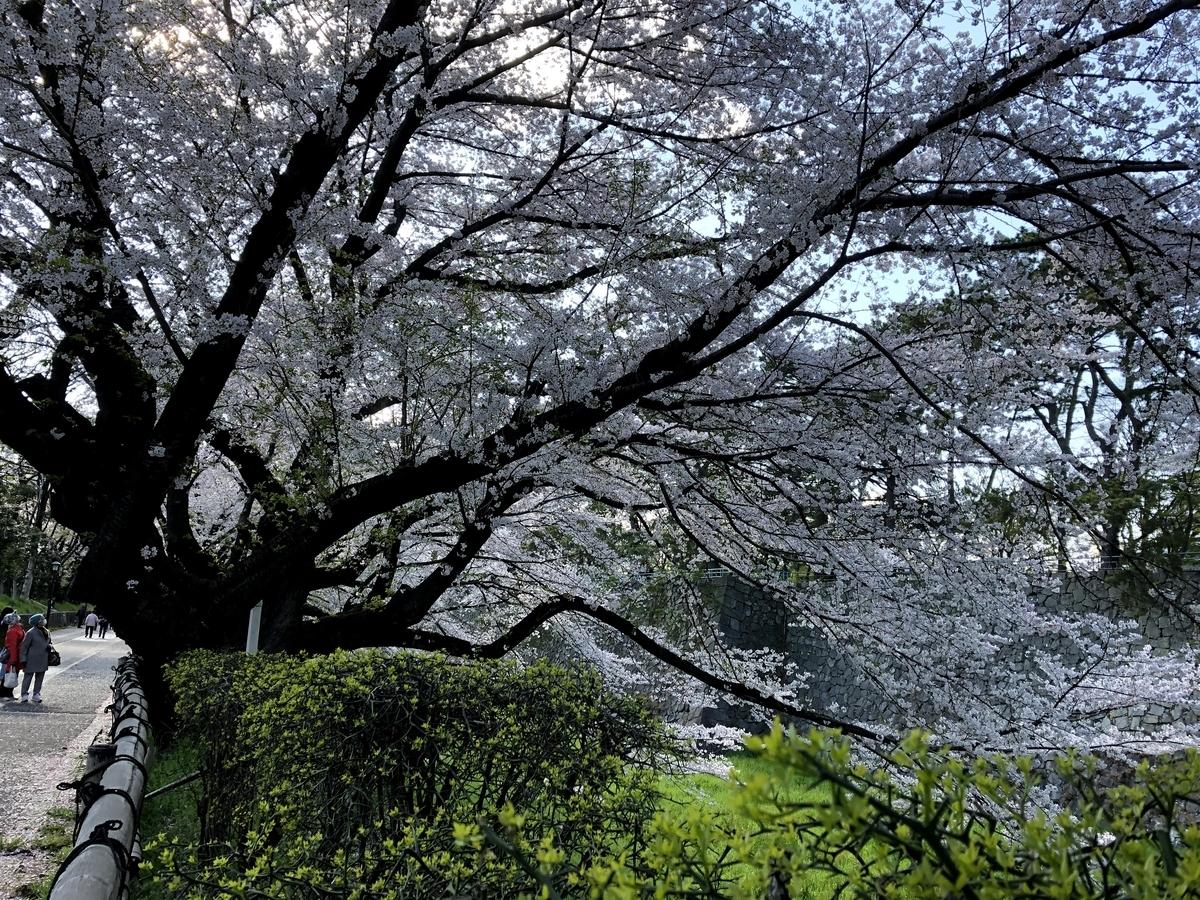 2020.4.5の桜の様子です