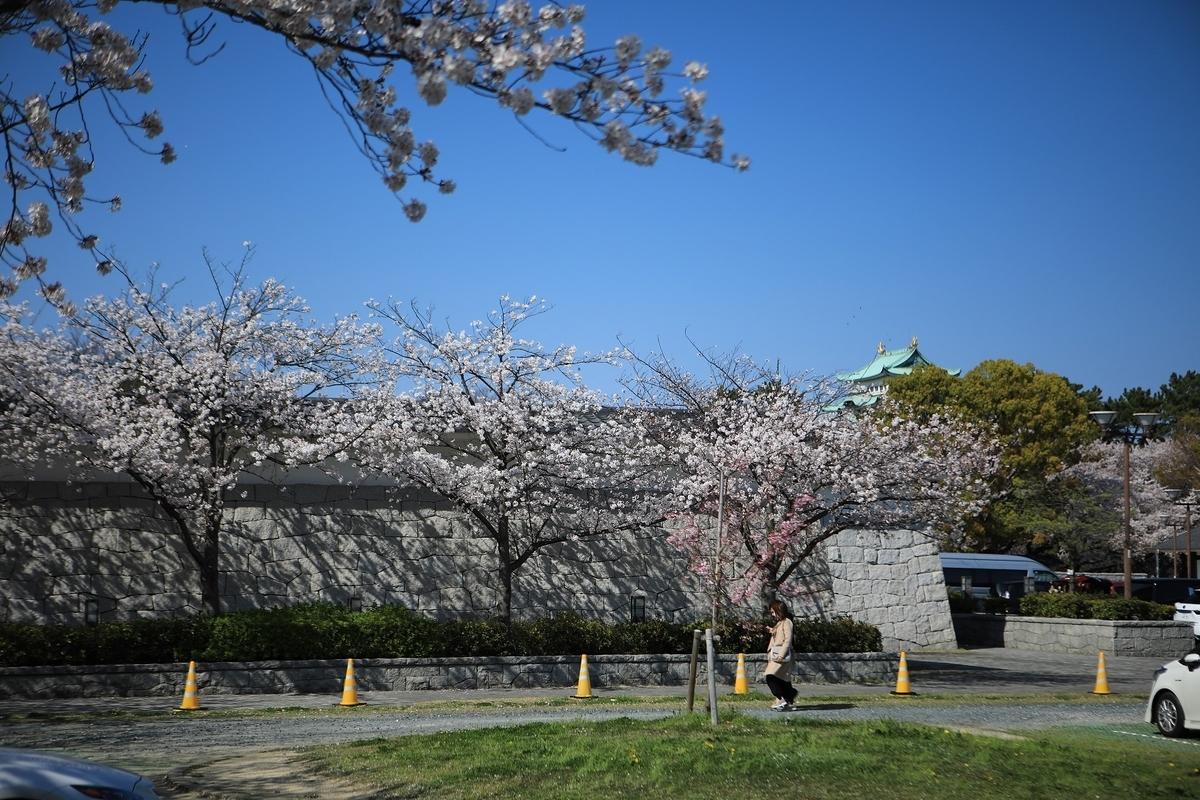 名古屋城の桜 奥に天守閣が見えます