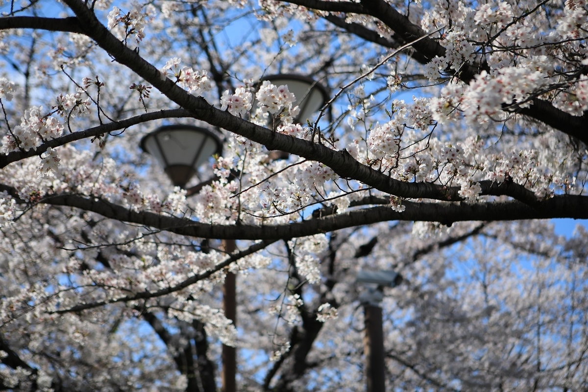 名古屋城の桜は満開です