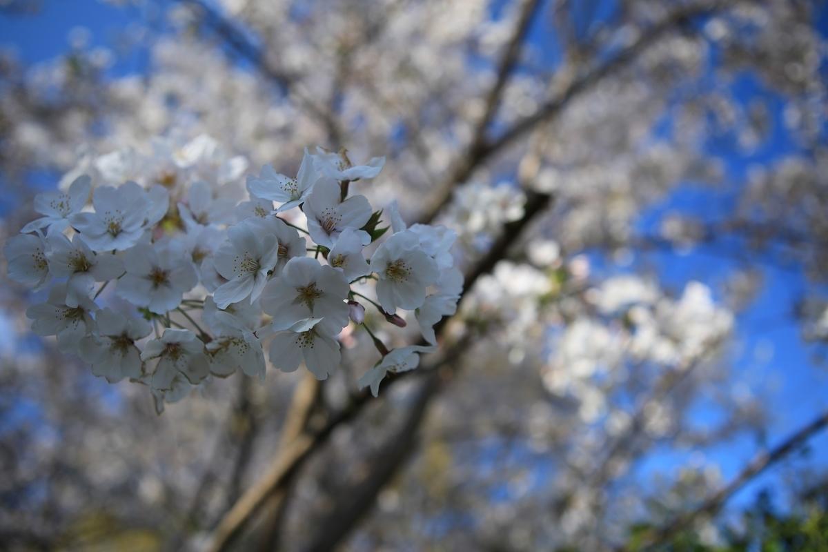 桜の撮影は意外に難しい