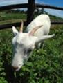小浜島のヤギ