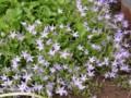 ききょう科の花で(カンパヌラ)アルペン・ブルーのようです