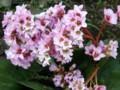 ヒマラヤユキノシタです。見事な咲きぶりですね