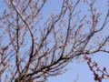 手前が白加賀【(梅)奥りが支那実桜(さくら)、まだ蕾は硬そう