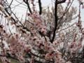 白加賀が満開。その奥は支那実桜(これも満開)