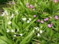 白はシランの白花、赤っぽいのはフウロソウの仲間でしょうか