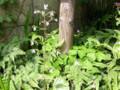 ユキノシタが咲き出しました