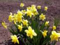 いろいろな水仙が咲き始めました