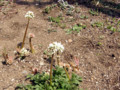 イワヤツデ、奇妙な花です。土からいきなり顔を出して咲きます。