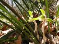 めっきり個体の少なくなったシュンランも咲き始めました