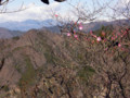 咲き始めたアカヤシオ 遠景は赤城山