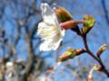 岩場手前のベンチ脇で咲く山桜