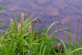 覚満淵の木道周辺は今ネバリノギランが真っ盛りです