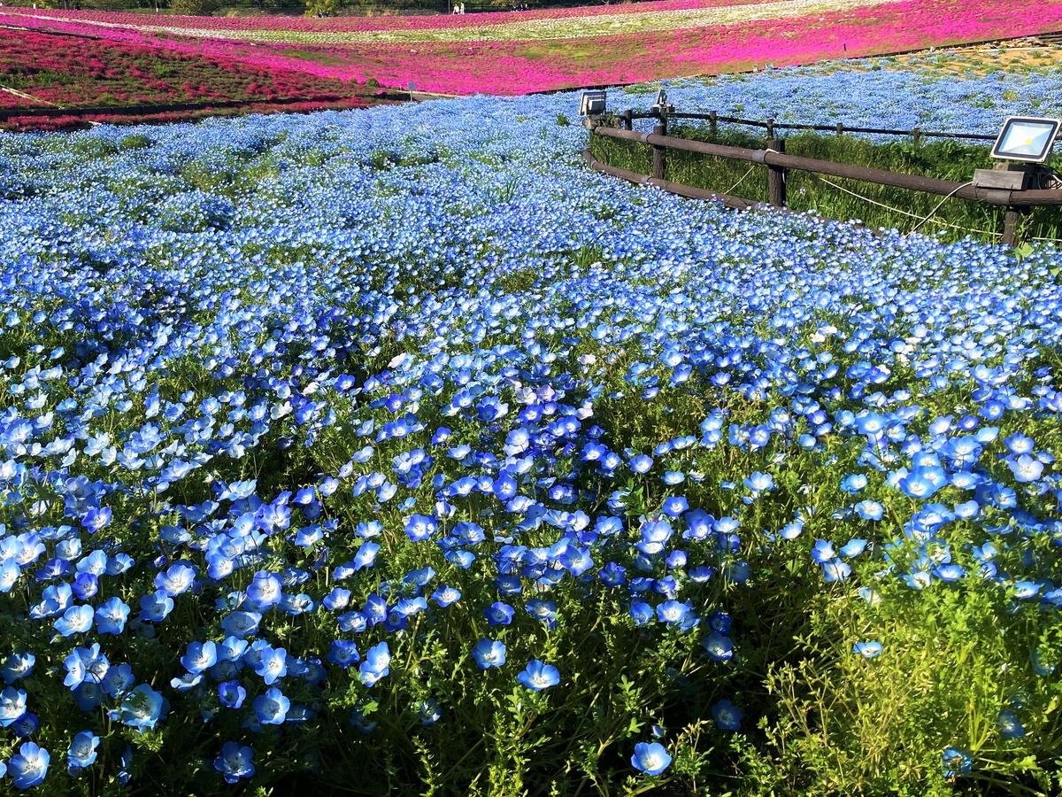 八王子山公園のネモフィラ