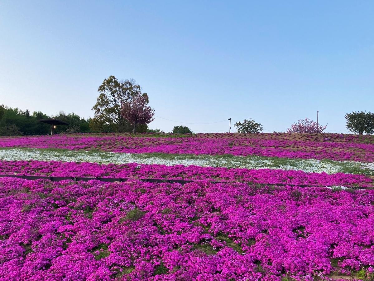 八王子山公園の芝桜1