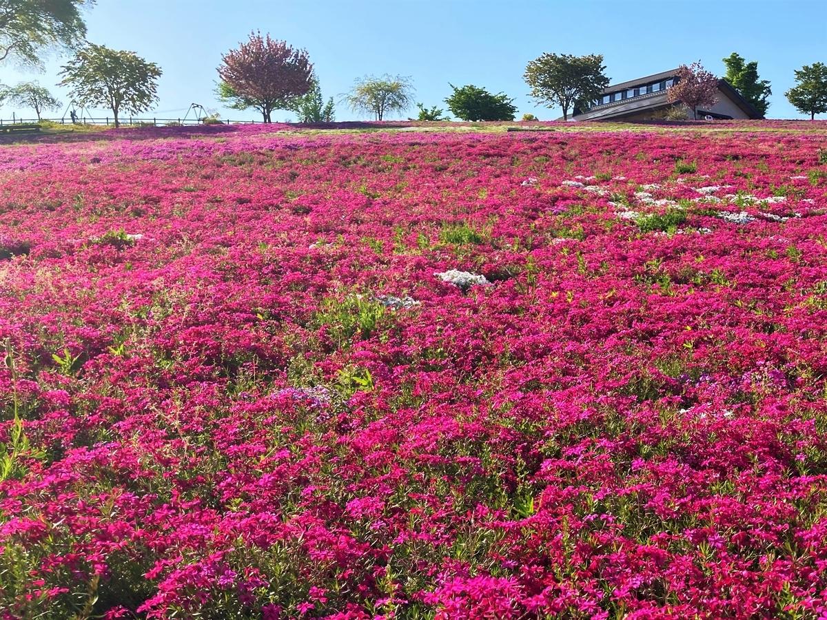 八王子山公園の芝桜2