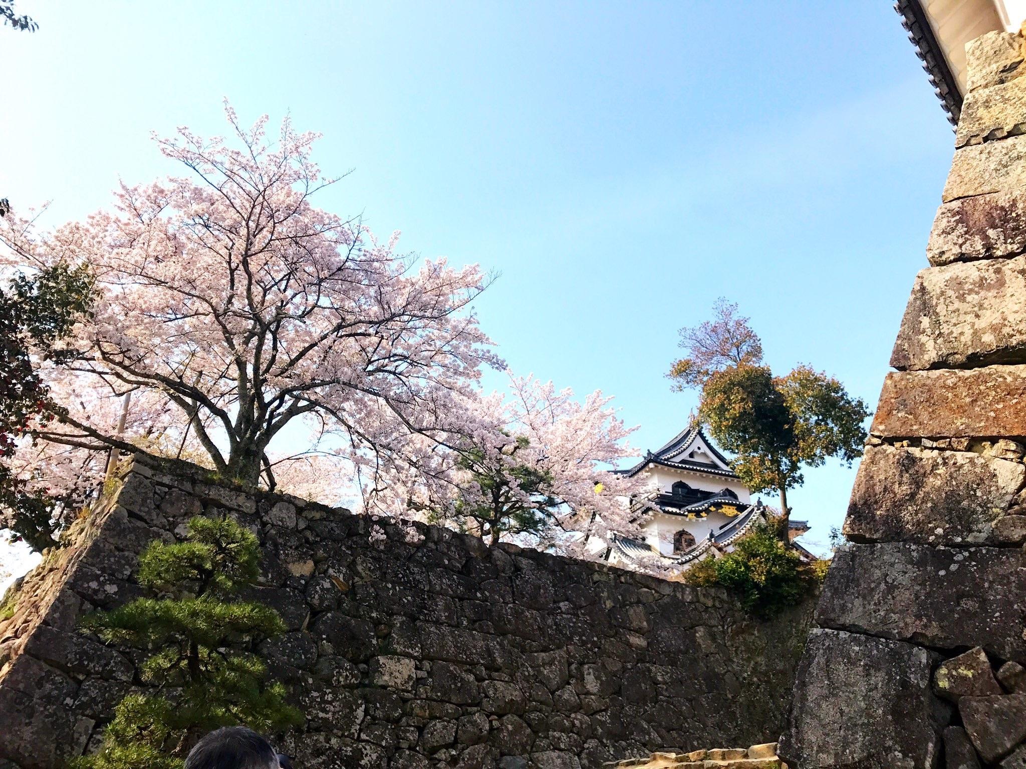 桜に包まれる彦根城天守閣