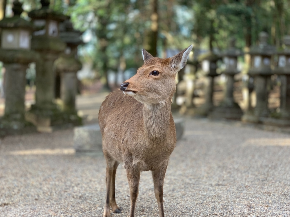 春日大社の境内に生息している鹿