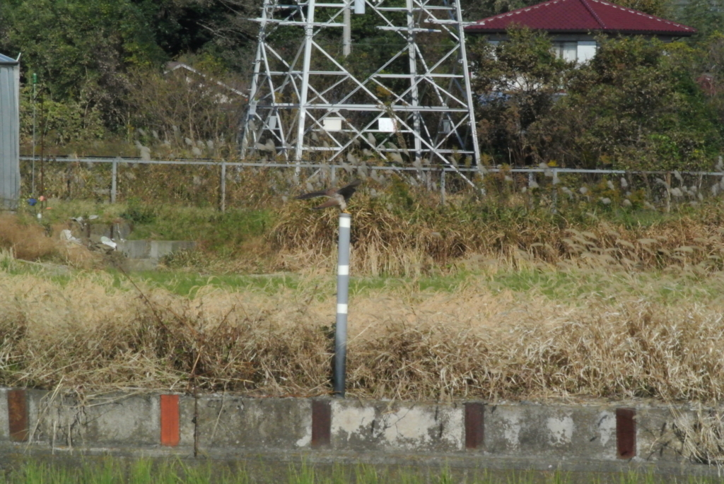 f:id:doshiroutobirder:20171109194548j:plain
