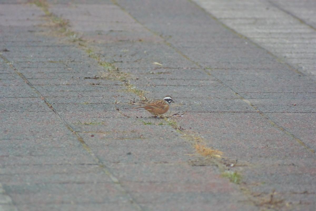 f:id:doshiroutobirder:20200119161500j:plain
