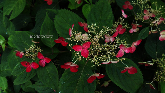 あじさいの花の画像:ほりえさなえ撮影