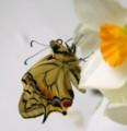 [蝶][きあげは]きあげは 羽化途中