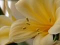 [花][君子蘭]君子蘭黄色