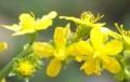 [花][金水引]金水引