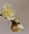 [花][梅]梅