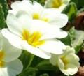 [花][プリムラ]プリムラ