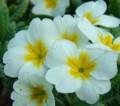 [花][プリムラ][笑顔届け隊!]プリムラ