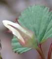 [花][きいちご]きいちごつぼみ