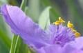 [花][紫露草]紫露草