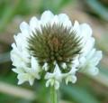[花][クローバー]クローバー