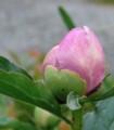 [花][芍薬]芍薬つぼみ