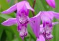 [花][紫蘭]紫蘭
