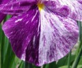 [花][花しょうぶ]花しょうぶ