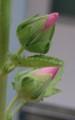 [花][たちあおい]たちあおいつぼみ