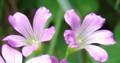 [花][オキザリス][笑顔届け隊!]オキザリス